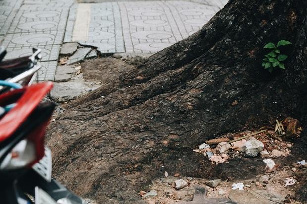 Sau vụ cây xanh bật gốc đè chết người: Vẫn còn nhiều cây đã già cỗi có rễ lộ thiên, nhánh vươn ra mặt đường ở Sài Gòn - Ảnh 9.