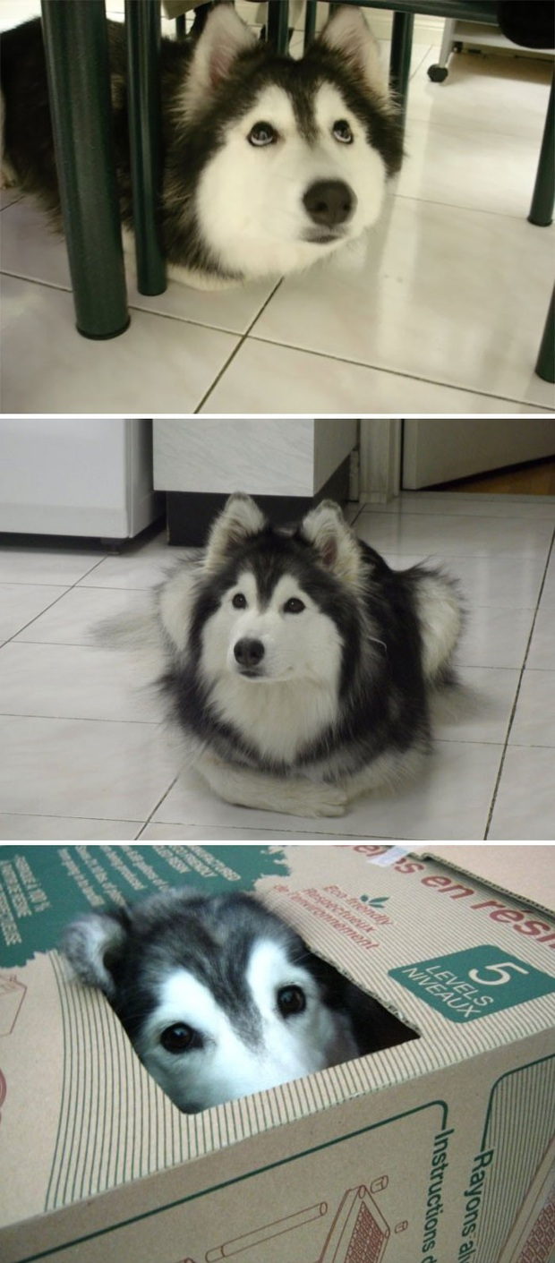 17 khoảnh khắc cho thấy Husky là giống chó ngáo ngơ, lười biếng và không dũng cảm như quảng cáo - Ảnh 2.