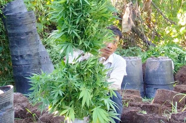Trồng 304 cây cần sa trong vườn cam để gà ăn trị bệnh - Ảnh 1.