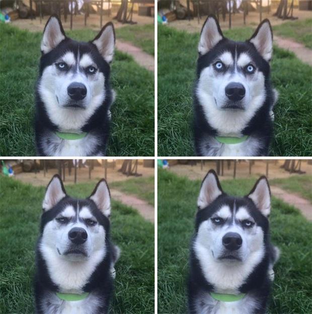 17 khoảnh khắc cho thấy Husky là giống chó ngáo ngơ, lười biếng và không dũng cảm như quảng cáo - Ảnh 4.
