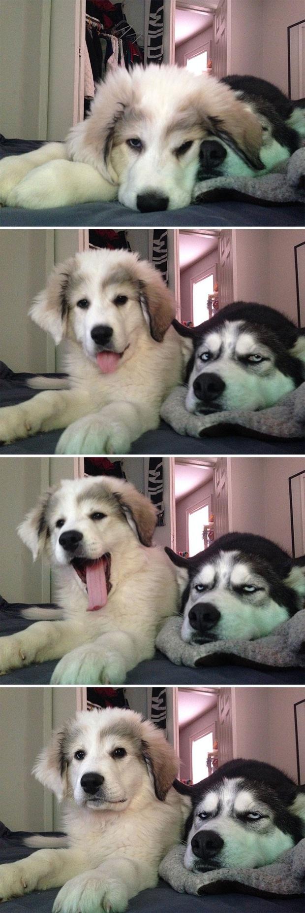 17 khoảnh khắc cho thấy Husky là giống chó ngáo ngơ, lười biếng và không dũng cảm như quảng cáo - Ảnh 7.