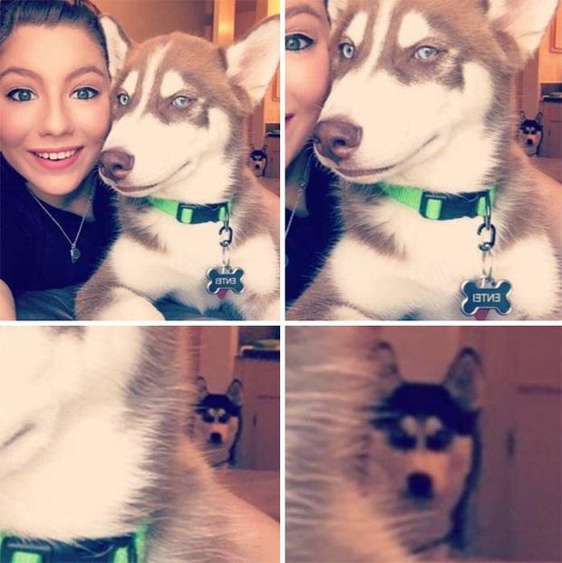17 khoảnh khắc cho thấy Husky là giống chó ngáo ngơ, lười biếng và không dũng cảm như quảng cáo - Ảnh 9.