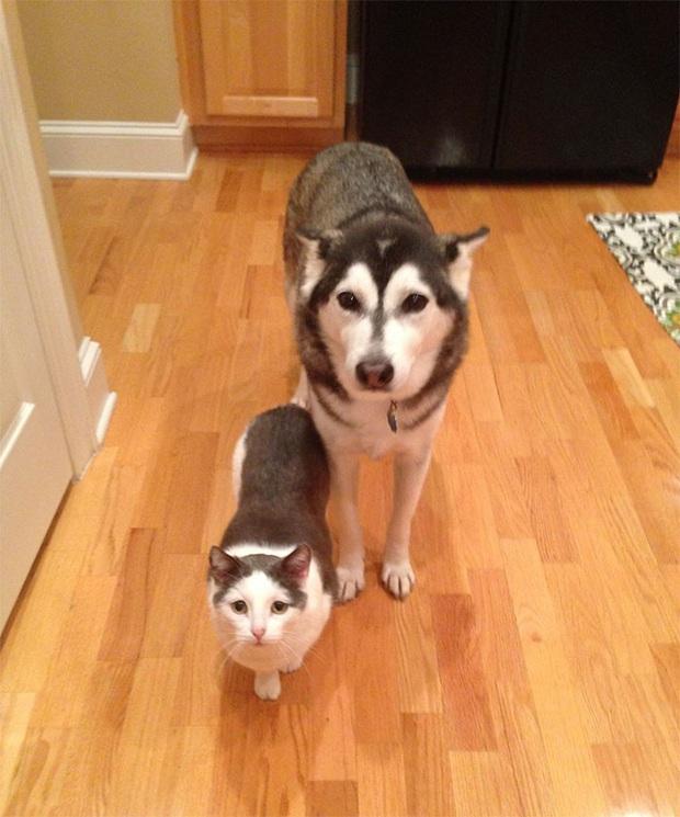 17 khoảnh khắc cho thấy Husky là giống chó ngáo ngơ, lười biếng và không dũng cảm như quảng cáo - Ảnh 10.