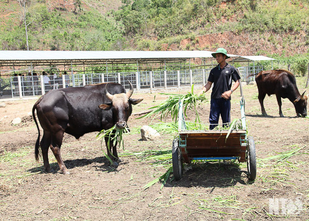 Đàn bò tót lai quý hiếm ốm o gầy mòn: Hơn năm qua, chúng chỉ được ăn rơm khô cầm cự qua ngày - Ảnh 2.