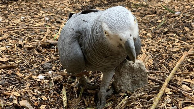 5 con vẹt bị đuổi khỏi công viên vì dạy nhau chửi bậy rồi chửi luôn cả khách tham quan - Ảnh 3.