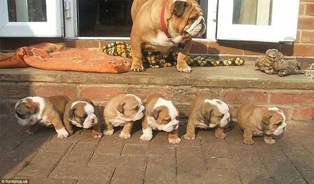 Loạt ảnh chứng minh chăm nom nhiều đứa con cùng một lúc chưa bao giờ là việc dễ dàng ngay cả đối với thú cưng, sinh đẻ vỡ kế hoạch mệt lắm! - Ảnh 1.