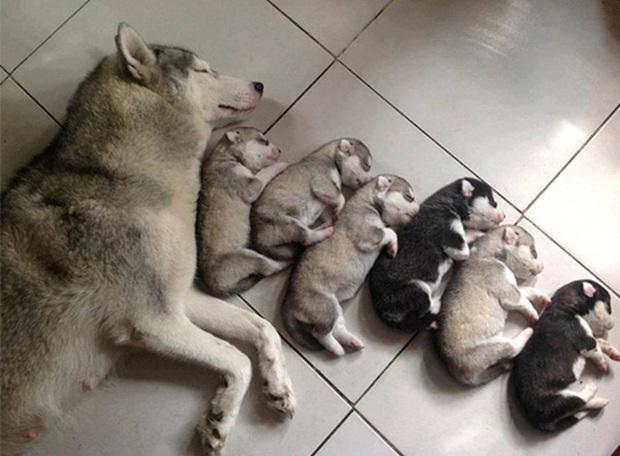 Loạt ảnh chứng minh chăm nom nhiều đứa con cùng một lúc chưa bao giờ là việc dễ dàng ngay cả đối với thú cưng, sinh đẻ vỡ kế hoạch mệt lắm! - Ảnh 3.