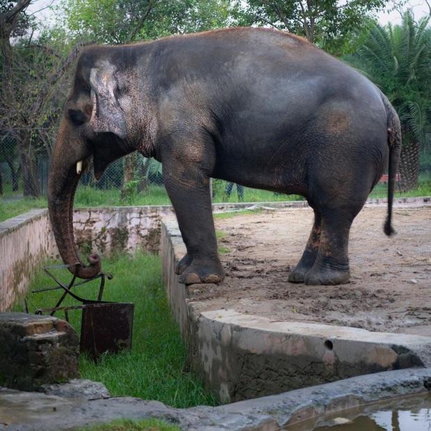 35 năm khổ sở của chú voi cô độc nhất hành tinh sắp được tự do: Gánh chịu nỗi đau mất bạn đời, tình trạng sức khỏe ai nghe cũng xót xa - Ảnh 2.