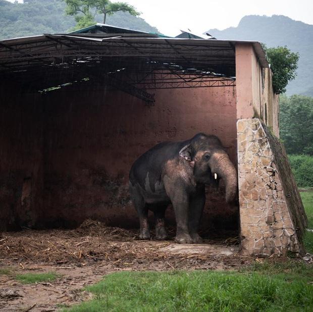 35 năm khổ sở của chú voi cô độc nhất hành tinh sắp được tự do: Gánh chịu nỗi đau mất bạn đời, tình trạng sức khỏe ai nghe cũng xót xa - Ảnh 3.