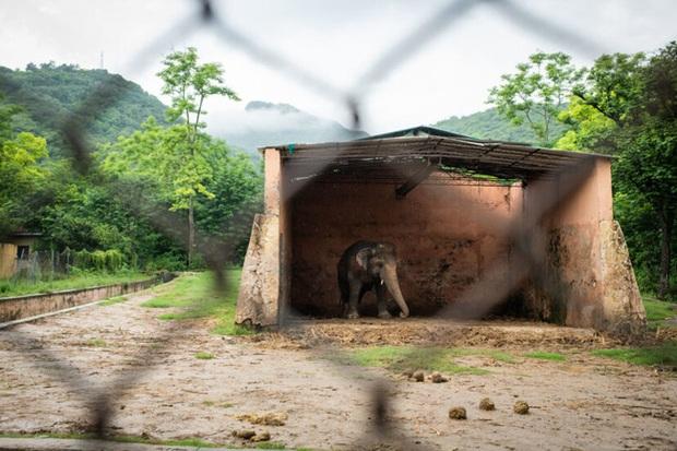 35 năm khổ sở của chú voi cô độc nhất hành tinh sắp được tự do: Gánh chịu nỗi đau mất bạn đời, tình trạng sức khỏe ai nghe cũng xót xa - Ảnh 4.