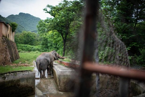 35 năm khổ sở của chú voi cô độc nhất hành tinh sắp được tự do: Gánh chịu nỗi đau mất bạn đời, tình trạng sức khỏe ai nghe cũng xót xa - Ảnh 5.