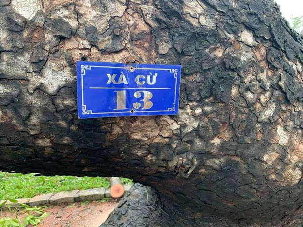 Cụ xà cừ số 13 cổ nhất tại Huế bị bão cùng tên quật đổ bật cả gốc gây tiếc nuối - Ảnh 2.