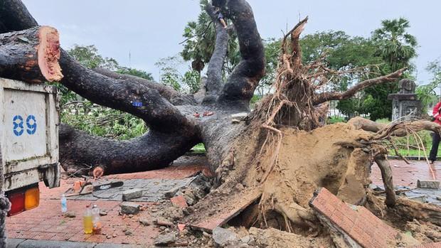 Cụ xà cừ số 13 cổ nhất tại Huế bị bão cùng tên quật đổ bật cả gốc gây tiếc nuối - Ảnh 3.