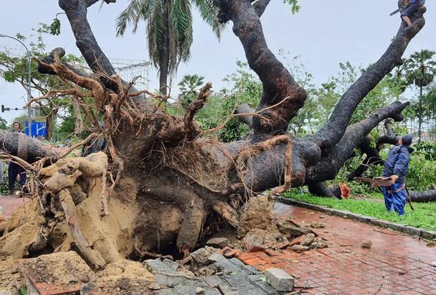 Cụ xà cừ số 13 cổ nhất tại Huế bị bão cùng tên quật đổ bật cả gốc gây tiếc nuối - Ảnh 1.