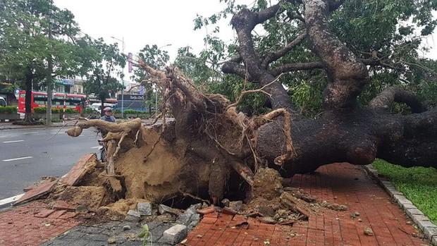 Cụ xà cừ số 13 cổ nhất tại Huế bị bão cùng tên quật đổ bật cả gốc gây tiếc nuối - Ảnh 18.