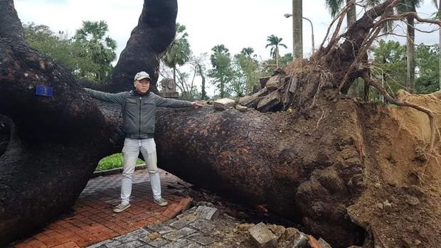 Cụ xà cừ số 13 cổ nhất tại Huế bị bão cùng tên quật đổ bật cả gốc gây tiếc nuối - Ảnh 5.