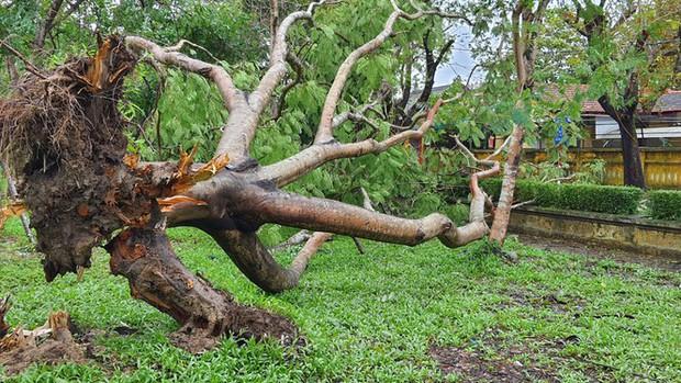 Cụ xà cừ số 13 cổ nhất tại Huế bị bão cùng tên quật đổ bật cả gốc gây tiếc nuối - Ảnh 6.