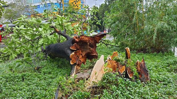 Cụ xà cừ số 13 cổ nhất tại Huế bị bão cùng tên quật đổ bật cả gốc gây tiếc nuối - Ảnh 7.