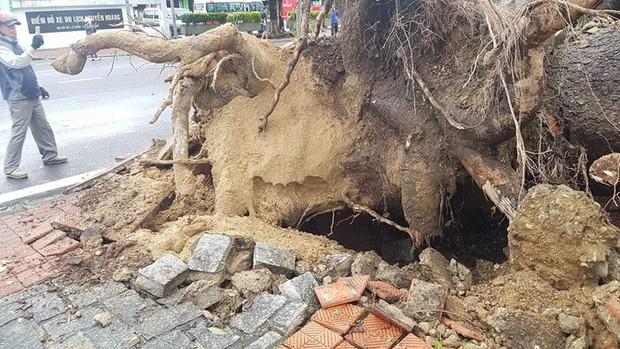 Cụ xà cừ số 13 cổ nhất tại Huế bị bão cùng tên quật đổ bật cả gốc gây tiếc nuối - Ảnh 11.