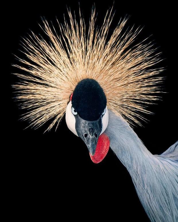 Đầu cắt moi đến râu quai nón - chùm ảnh chân dung cực nghệ của một số loài chim siêu hiếm có khó tìm - Ảnh 7.