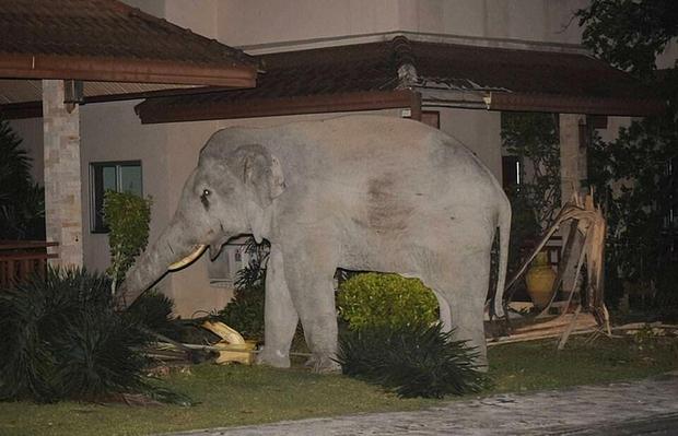 Mò vào nhà dân tìm đồ ăn, chú voi nặng 4 tấn bị mèo con rượt đuổi chạy tóe khói - Ảnh 3.