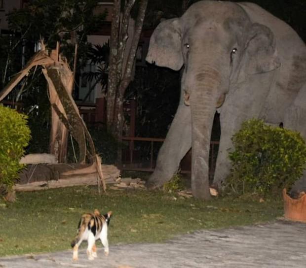 Mò vào nhà dân tìm đồ ăn, chú voi nặng 4 tấn bị mèo con rượt đuổi chạy tóe khói - Ảnh 1.