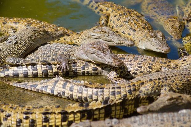 Hermès gây tranh cãi về việc xây dựng trang trại nuôi nhốt cá sấu ở Úc để lấy da - Ảnh 3.