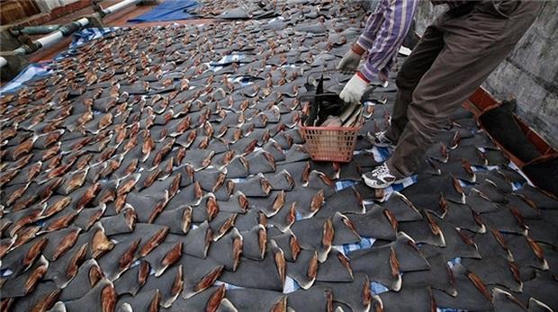 Súp vi cá mập, gan ngỗng, sushi cá ngừ xanh, liệu con người có thấu nỗi đau ai oán mà loài vật phải chịu đựng để cho ra ẩm thực tinh hoa? - Ảnh 6.