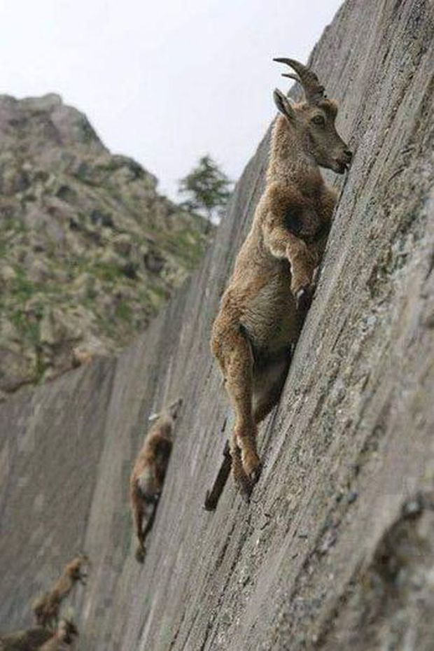 Alpine Ibex: Bất chấp các vấn đề về trọng lực, loài động vật này vẫn có thể leo lên các bức tường thẳng đứng - Ảnh 5.