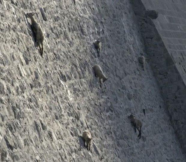 Alpine Ibex: Bất chấp các vấn đề về trọng lực, loài động vật này vẫn có thể leo lên các bức tường thẳng đứng - Ảnh 6.