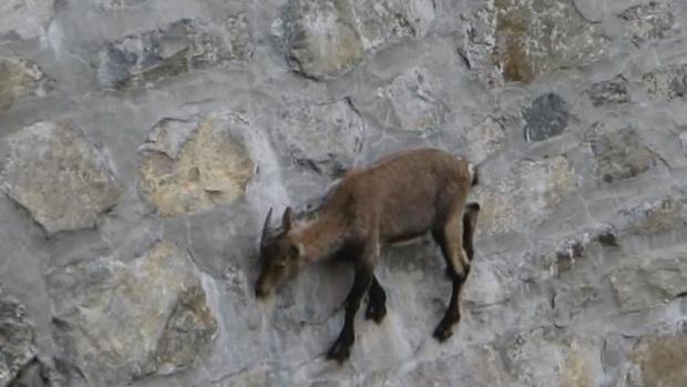 Alpine Ibex: Bất chấp các vấn đề về trọng lực, loài động vật này vẫn có thể leo lên các bức tường thẳng đứng - Ảnh 7.