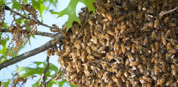Lần đầu tiên trong lịch sử khoa học chứng kiến loài ong biết dùng công cụ, nhưng họ lại cảm thấy... buồn nôn - Ảnh 2.