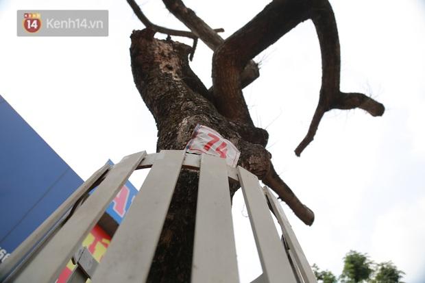 Những cây sưa đỏ mang giáp sắt, lắp camera theo dõi đã chết khô: Người Hà Nội xót xa, lo lắng - Ảnh 3.