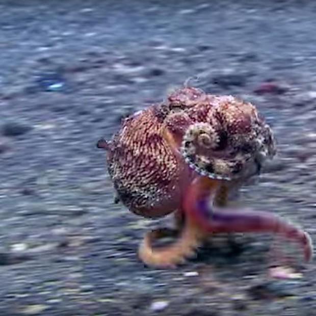 Clip: Chú bạch tuộc ba chân bốn cẳng chạy nước rút dưới đáy biển gây sốt MXH - Ảnh 2.