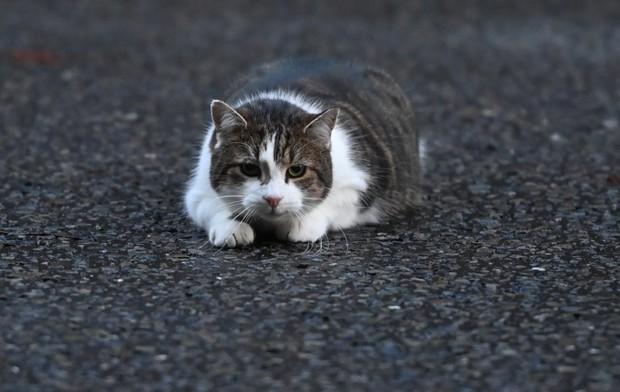 """Mèo Larry - """"Tổng quản"""" dinh Thủ tướng Anh lại gây bão vì hành động siêu ngớ ngẩn khiến phóng viên bỏ rơi cả Thủ tướng để chạy theo chụp hình - Ảnh 1."""