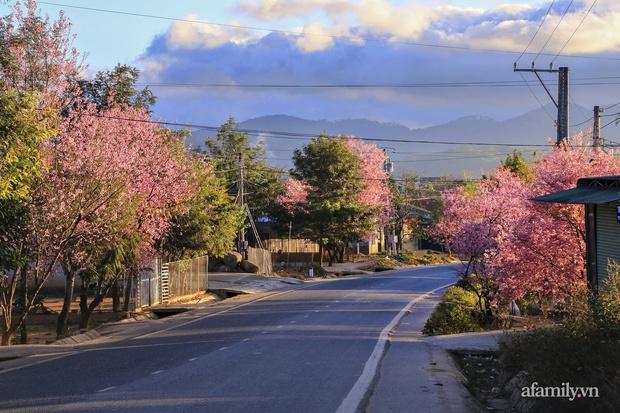 Choáng ngợp với cảnh hàng trăm cây hoa mai anh đào nở rợp trời ở ngôi làng đẹp lạ như Tây Tạng, nằm ngay gần trung tâm TP. Đà Lạt mà không phải ai cũng biết - Ảnh 1.
