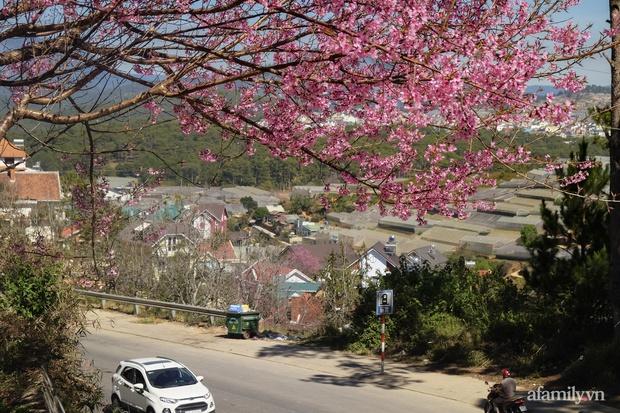 Choáng ngợp với cảnh hàng trăm cây hoa mai anh đào nở rợp trời ở ngôi làng đẹp lạ như Tây Tạng, nằm ngay gần trung tâm TP. Đà Lạt mà không phải ai cũng biết - Ảnh 2.