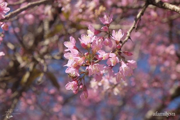 Choáng ngợp với cảnh hàng trăm cây hoa mai anh đào nở rợp trời ở ngôi làng đẹp lạ như Tây Tạng, nằm ngay gần trung tâm TP. Đà Lạt mà không phải ai cũng biết - Ảnh 3.
