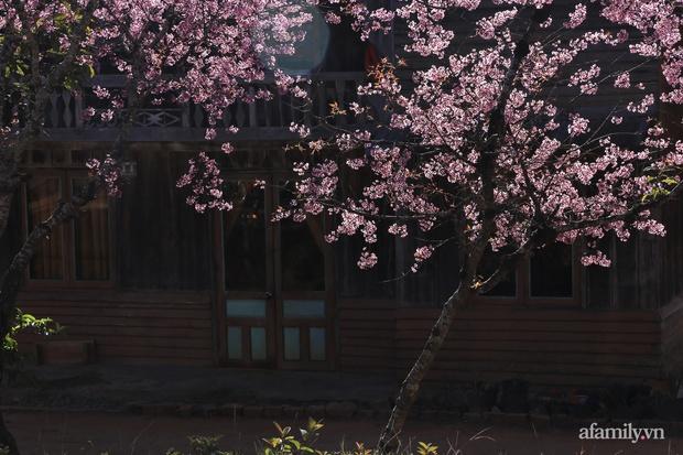Choáng ngợp với cảnh hàng trăm cây hoa mai anh đào nở rợp trời ở ngôi làng đẹp lạ như Tây Tạng, nằm ngay gần trung tâm TP. Đà Lạt mà không phải ai cũng biết - Ảnh 16.