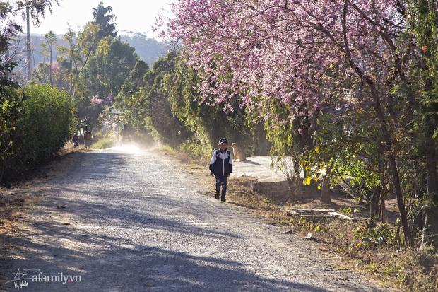 Choáng ngợp với cảnh hàng trăm cây hoa mai anh đào nở rợp trời ở ngôi làng đẹp lạ như Tây Tạng, nằm ngay gần trung tâm TP. Đà Lạt mà không phải ai cũng biết - Ảnh 17.