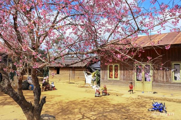 Choáng ngợp với cảnh hàng trăm cây hoa mai anh đào nở rợp trời ở ngôi làng đẹp lạ như Tây Tạng, nằm ngay gần trung tâm TP. Đà Lạt mà không phải ai cũng biết - Ảnh 5.