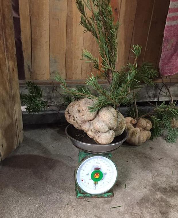 Loại nấm mọc trên ngọn cây, giá vài triệu/kg vẫn được nhà giàu Việt lùng mua quanh năm vì ít có, khó tìm - Ảnh 2.