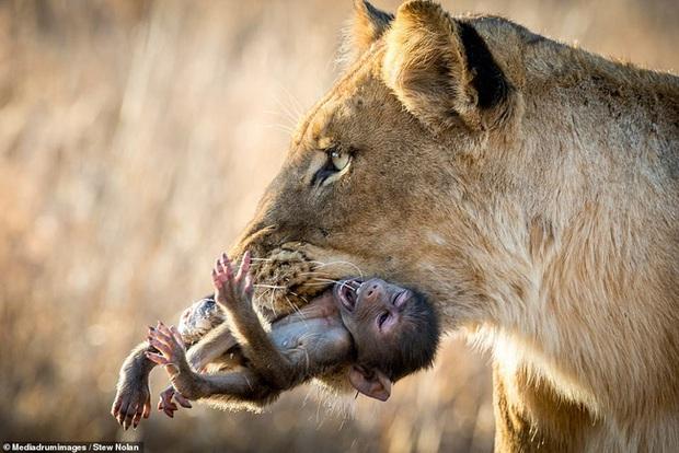 Khoảnh khắc nhói lòng khi sư tử ngoạm chặt chuẩn bị đánh chén chú khỉ con, đau đớn nhưng là quy luật nghiệt ngã của tự nhiên - Ảnh 1.
