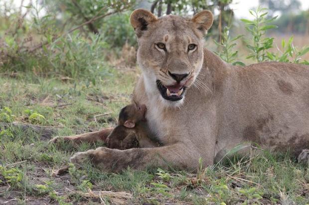 Khoảnh khắc nhói lòng khi sư tử ngoạm chặt chuẩn bị đánh chén chú khỉ con, đau đớn nhưng là quy luật nghiệt ngã của tự nhiên - Ảnh 11.
