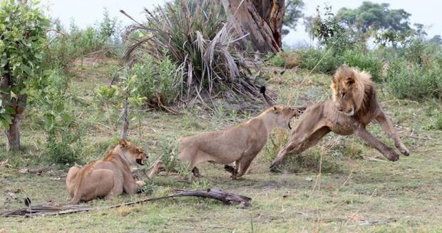 Khoảnh khắc nhói lòng khi sư tử ngoạm chặt chuẩn bị đánh chén chú khỉ con, đau đớn nhưng là quy luật nghiệt ngã của tự nhiên - Ảnh 13.