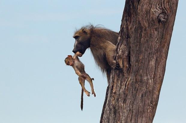 Khoảnh khắc nhói lòng khi sư tử ngoạm chặt chuẩn bị đánh chén chú khỉ con, đau đớn nhưng là quy luật nghiệt ngã của tự nhiên - Ảnh 14.