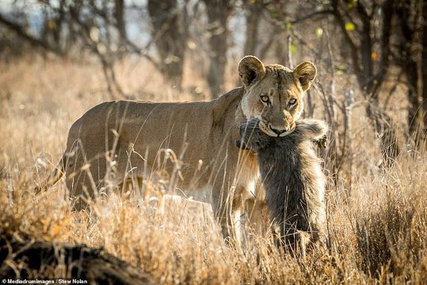 Khoảnh khắc nhói lòng khi sư tử ngoạm chặt chuẩn bị đánh chén chú khỉ con, đau đớn nhưng là quy luật nghiệt ngã của tự nhiên - Ảnh 3.