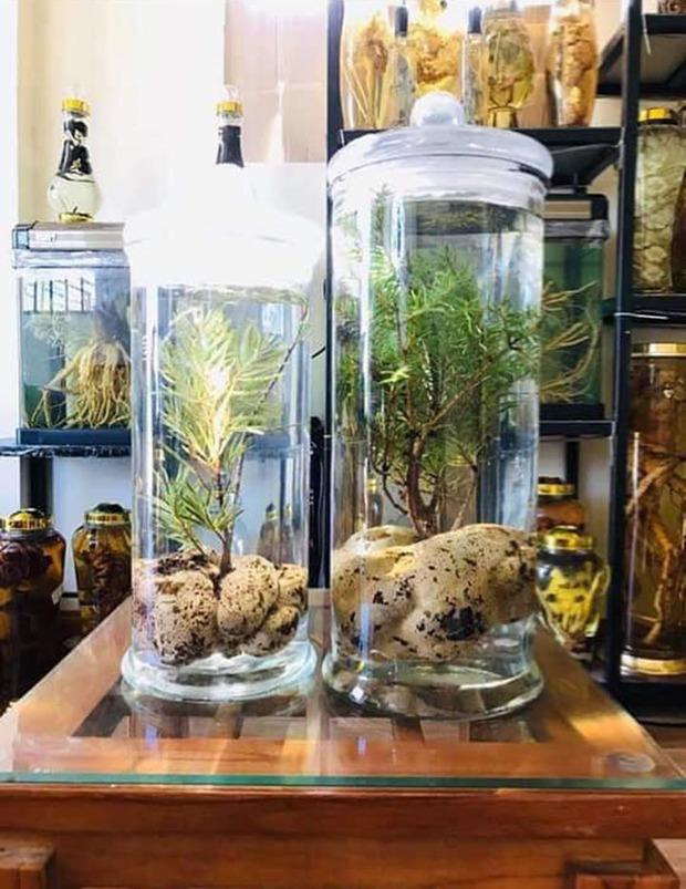 Loại nấm mọc trên ngọn cây, giá vài triệu/kg vẫn được nhà giàu Việt lùng mua quanh năm vì ít có, khó tìm - Ảnh 4.