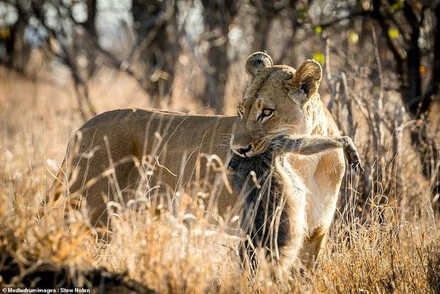 Khoảnh khắc nhói lòng khi sư tử ngoạm chặt chuẩn bị đánh chén chú khỉ con, đau đớn nhưng là quy luật nghiệt ngã của tự nhiên - Ảnh 4.