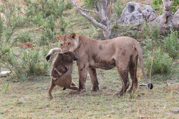 Khoảnh khắc nhói lòng khi sư tử ngoạm chặt chuẩn bị đánh chén chú khỉ con, đau đớn nhưng là quy luật nghiệt ngã của tự nhiên - Ảnh 6.